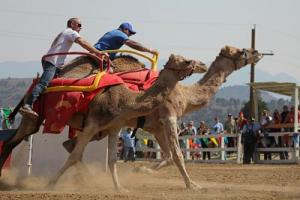 International Camel & Ostrich Races
