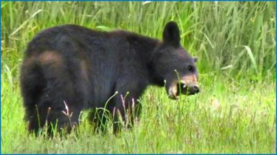 A young black bear dines on meadow grasses, a natural food source. Photo credit: Nevada Department of Wildlife.
